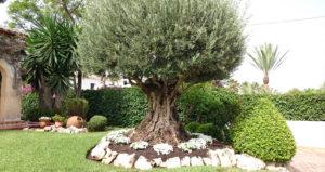 Poda de árboles y palmeras en Jávea / Xàbia